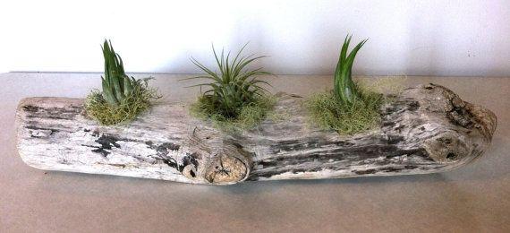 Driftwood Sculpture W/ 3 Air Plants Rustic Art Zen Retreat Gift Housewarming Gift Wedding Gift Unique Gift