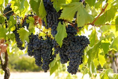 El aceite de semillas de uva es un aceite ideal para incorporar a nuestra dieta…