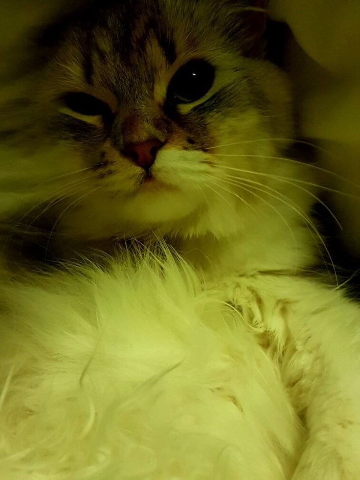 #cat #catlovers #follow #happy #cute #cuteness #peloucha #pelouche