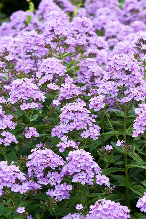 66 best perennial flowers images on pinterest garden plants purple perennial phlox paniculata nesperis mightylinksfo Image collections