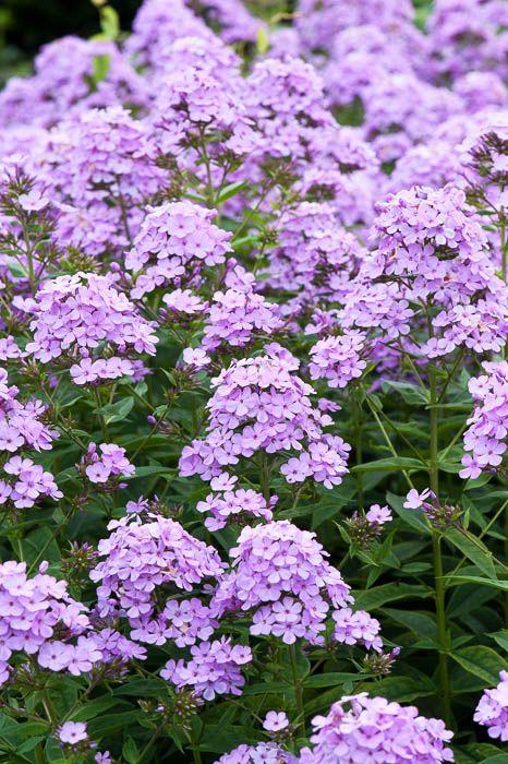 Purple perennial phlox paniculata 'Nesperis'