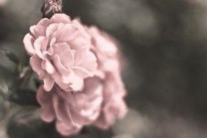 Pink Roses Flowers HD Wallpaper