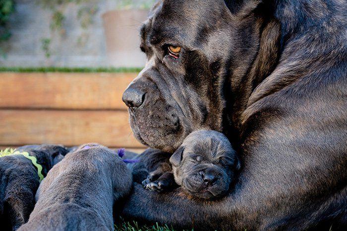Les chiens aussi deviennent parents, et figurez vous que chez eux, l'instinct parental existe aussi. Une mère s'attache dès les premières minutes à ses chiots, et s'habi...