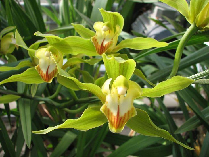 Cymbidium Ensifolium   cym ensifolium cym insigne cym lowianum cym madidum cym parishii