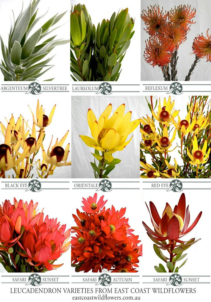 Nine of our most popular #leucadendron varieties that we grow and wholesale in NSW #capeflora #flowers #bouquet #wedding #safarisunset #silvertree