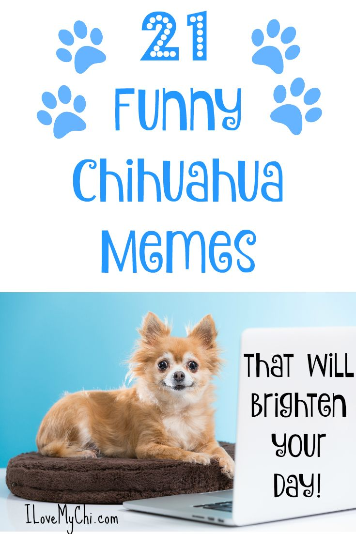 1000 images about chihuahuas on pinterest cartoon devil and blue - 21 Funny Chihuahua Memes