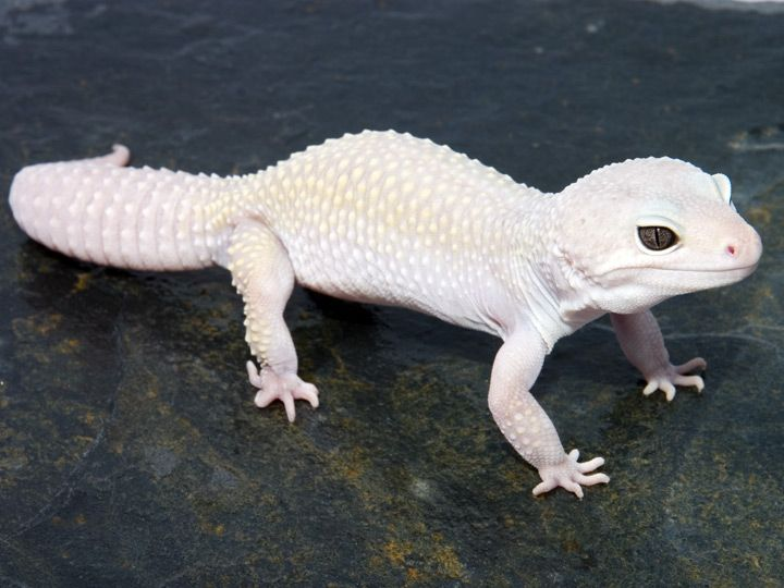 Snow Leopard Gecko I have one very sweet and lots of fun Izzy