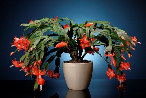 Vánoční kaktus bohatě kvete
