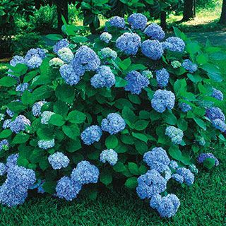 Nikko Blue Hydrangea  z5 with protection, 6', shade tolerant, acid
