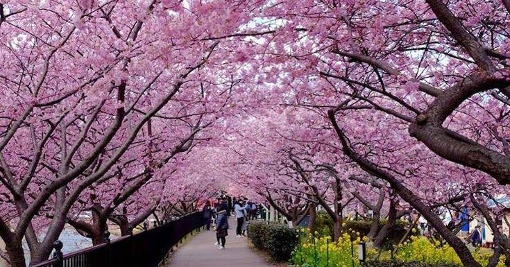 Οι κερασιές άνθισαν πρόωρα στην Ιαπωνία
