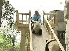 GIF. Pandas are not very good at slides. Incredibly Cute and funny at the same time. (HT: Reddit, lightbrite08)