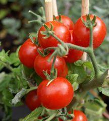 Entretien tomates