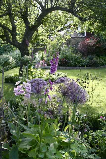 Purple garden with allium, digitalis, aquilegia etc