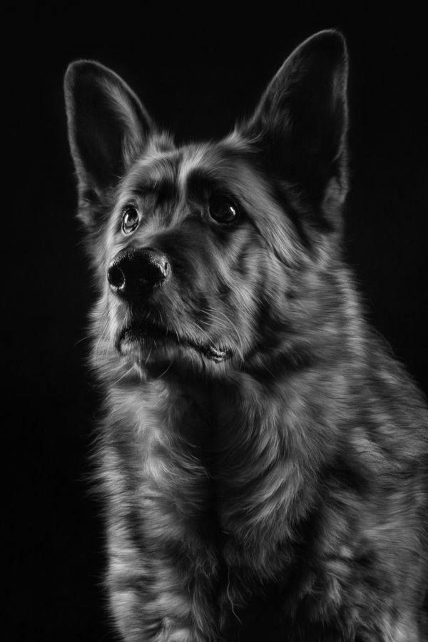 Gsd german shepherd dogsgerman shepherdsblack