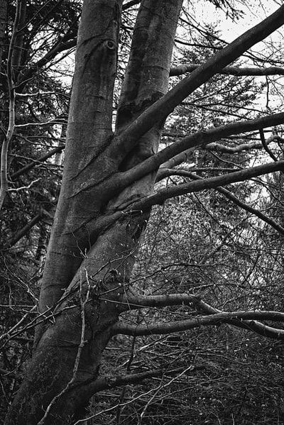 bwstock.photography - photo   free download black and white photos  //  #intertwined #treetops