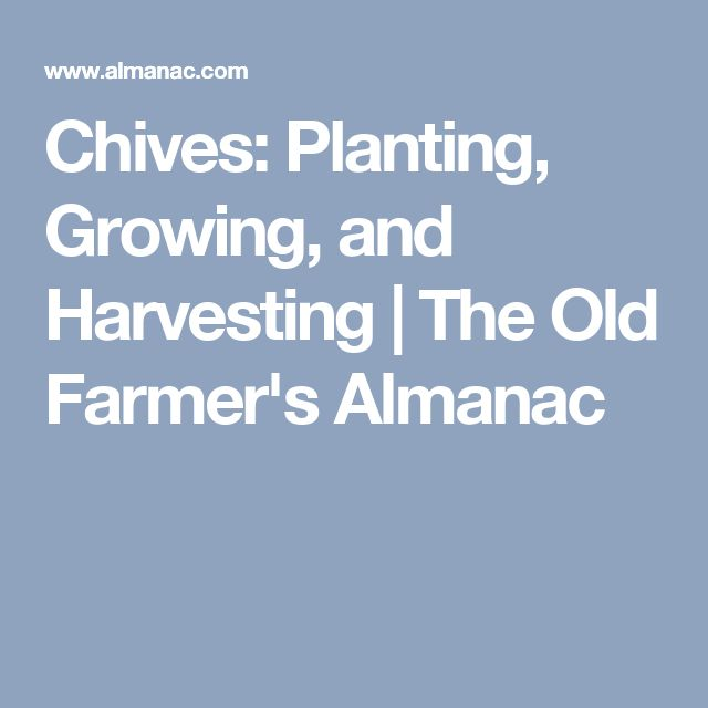 Chives: Planting, Growing, and Harvesting | The Old Farmer's Almanac