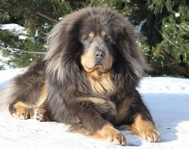 Le mastiff du Tibet : 3.500 euros pour le chien des Chinois fortunés C'est pour un mastiff du Tibet, également nommé dogue du Tibet, qu'un riche Chinois a dépensé plus d'un million d'euros en 2014. Un tarif qui reste exceptionnel mais acheter un tel chien vous coûtera de 2.000 à 3.500 euros. Cet animal de grosse taille ne vit qu'une dizaine d'années.>>> Pour votre chien ou votre chat,  testez notre comparateur d'assurances animaux