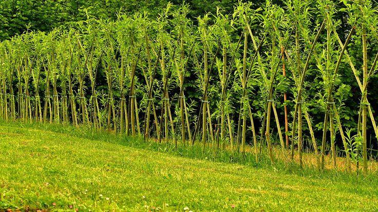 Živé stavby z vrby - vrbové stavby - Proutěné ploty a rohože na plot | Vrbové stavby - Naše realizace Živý vrbový plot v MŠ Klášterec nad Ohří Living willow fence in maternity school