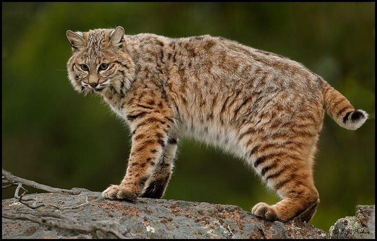 Bobcat Facts, History, Useful Information and Amazing Pictures