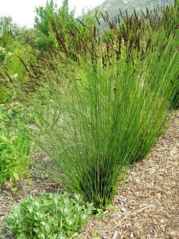 Restios grass