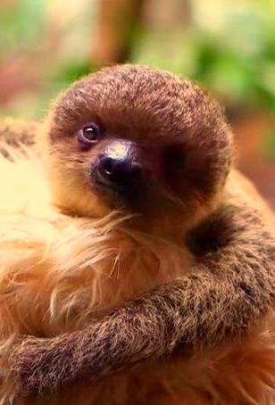 The little two-toed sloth, born in captivity at the London Zoo, has the extra-cute habit of snuggling a ...