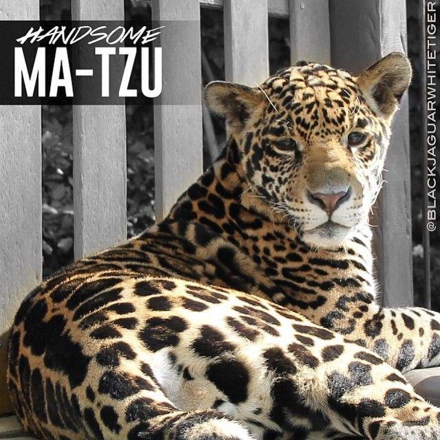 White Jaguar Cat: 1000+ Images About Black Jaguar White Tiger On Pinterest
