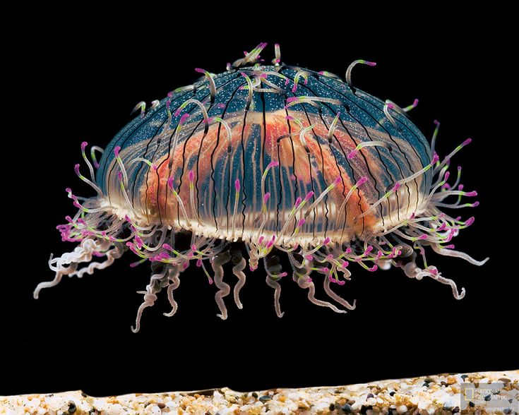 """This is a rare species of jellyfish known as the """"flower hat jelly."""" (National Geographic)"""