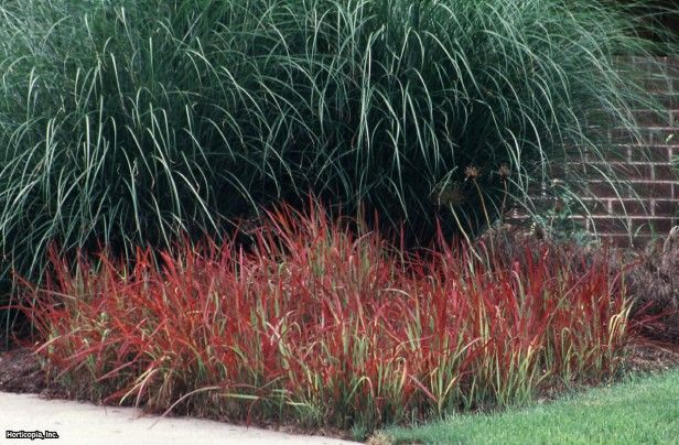 japanese blood grass imperata cylindrica 39 red baron 39 ideas for my plant zone love this the. Black Bedroom Furniture Sets. Home Design Ideas