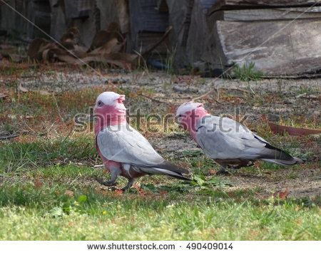 A pair of pink cockatoos through the sweet grass looking for a tasty treat