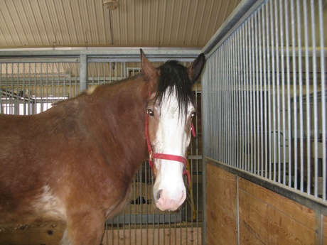 Animal of the Month  August: Clydesdale horse – Merrill    Hi! My name is Merrill and I am a Clydesdale horse. Be sure to visit me this summer as I pull visitors in the Museum's Tally-Ho wagon. This is a great job for me because I am a draught horse, which means that I was bred for heavy tasks. Read more...http://www.agriculture.technomuses.ca/english/tour/animal_month.cfm