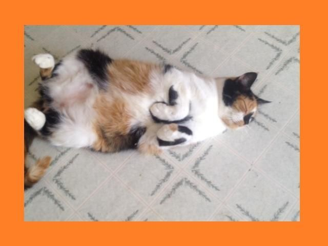 Meet Black nosed Calico, a Petfinder adoptable Calico Cat   Apollo, PA   This calico cat was adopted as a young kitten in 2009.  She was returned later that year due to...