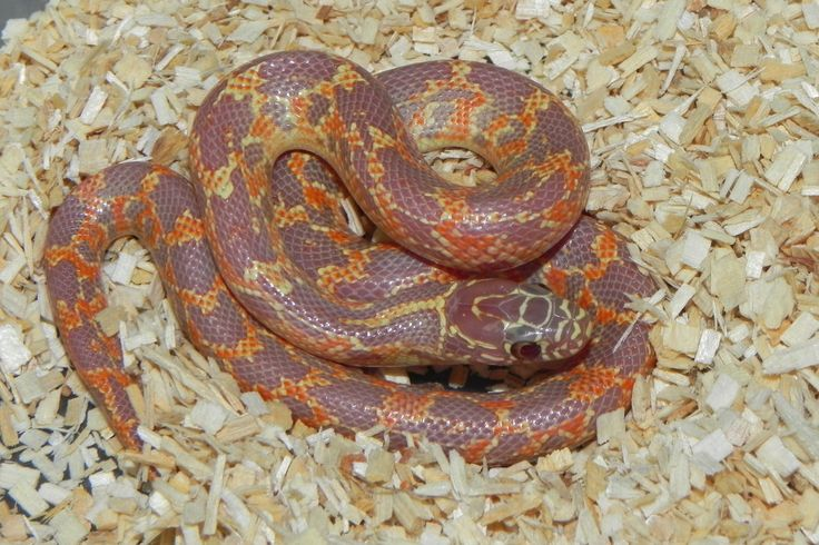 Albino Mosaic Florida King Snake for sale | Snakes at Sunset