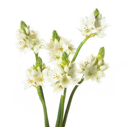 White Star of Bethlehem look great standing alone or blended into bouquets and arrangements of wedding flowers.Beautiful Flower, Blends Beautiful, White Flower, Summer Wedding, White Stars, Beautiful White, Whole Flower, Wedding Flowers, Bethlehem Wholesale