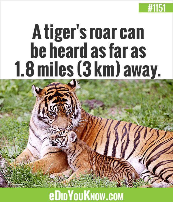 m s de 25 ideas incre bles sobre tiger facts en pinterest datos curiosos hechos raros y. Black Bedroom Furniture Sets. Home Design Ideas