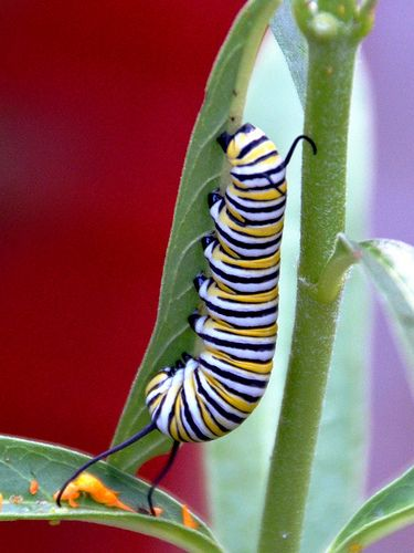 ˚Beautiful Monarch caterpillar