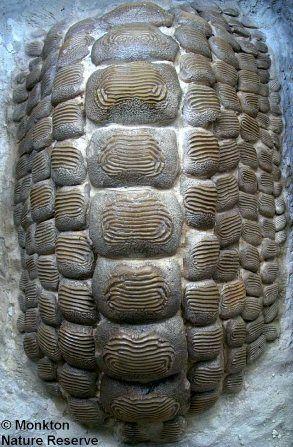 Ptychodus (diente fosil de tiburón).