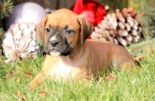 Yardley, PA French Mastiff/Boxer Mix. Meet Hercules, a
