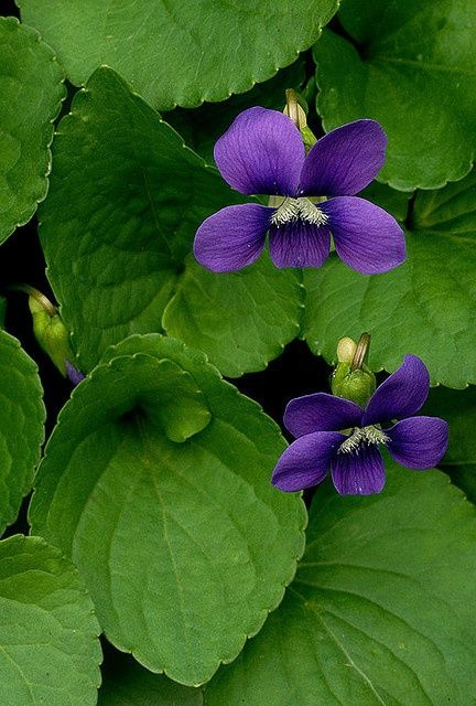 i love the wild violets...