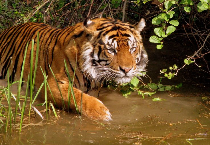 Tiger in water - source: http://www.allaboutwildlife.com/endangered-species/leonardo-dicaprio-poachers-and-the-worlds-endangered-tigers/5602