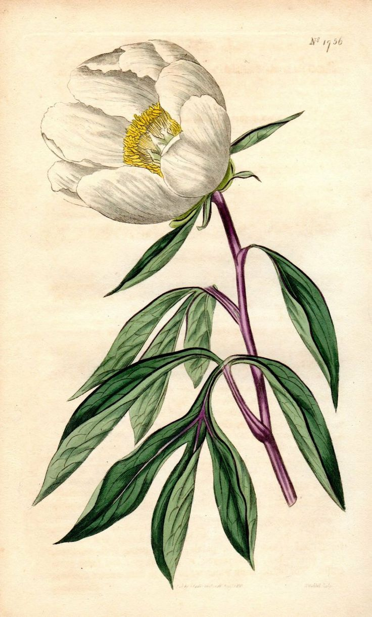 20 Botanical Tattoo Artists You Need To Follow For Your: 171 Best Vintage Botanical Illustrations Images On Pinterest