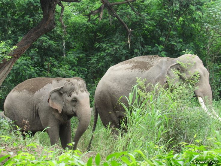 Facts about Elephants, Information about Elephants, African Elephants and Asian Elephants.Elephant Anatomy, Habitats, feeding and other details