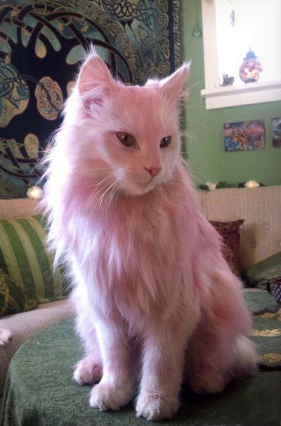 How to dye your cat pink naturally / Rosa katter (Navianas Grønne Verden)