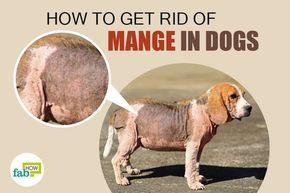 Is your loyal companion constantly scratching himself, leading to angry, red bald patches with sores or scabs on his skin? These signs indicate that your beloved pet may be suffering from mange. Mange is a skin infection or disease often seen in companion canines. It's caused by external parasites like mites, some of which are...