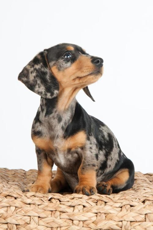Dapple Dachshund puppy Shadow by Meriam Clemente Jose-Mariaon facebook.com