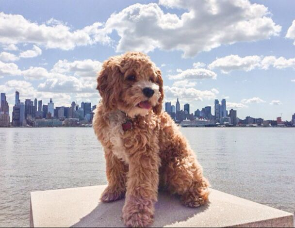 Max in New York City! #crazy cockapoo