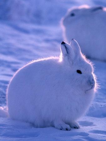 Arctic Hare Ellesmere Island Canada
