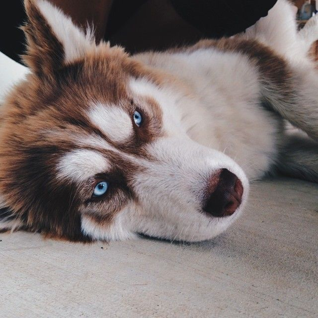 In Need Of A Tea Detox Get 10 Off Your Order Using Our Discount Code Pinterest10 On Www Skinnymetea Com Au Siberian Husky Puppies Dogs