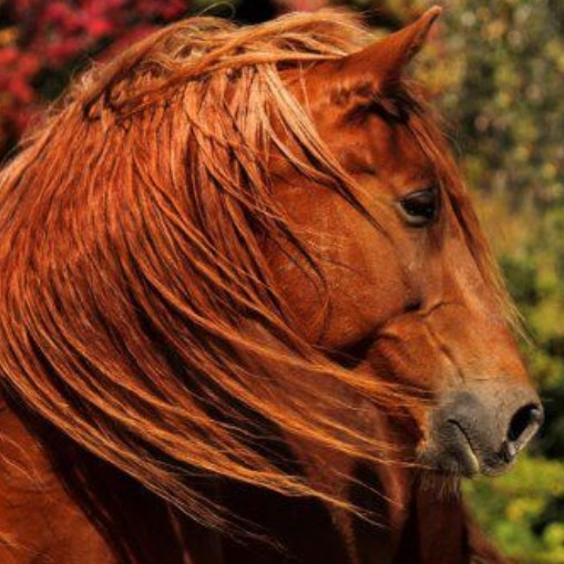 17 best images about chestnuts beautiful red horses on