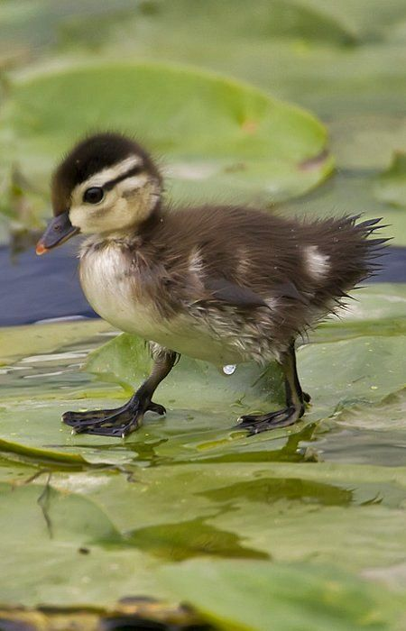 A wood duck baby walking on lily pads - one day I'll get to see these babies in person!