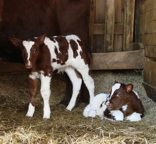 We have twins! by Sauder Village, via Flickr.  Visit www.saudervillage.org to plan your visit and meet all the animals in our barnyard!